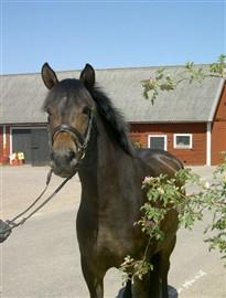 hästar till salu